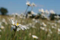 Searching For The Sun... (Stuart`Dootson) Tags: flowers blue summer green daisies bokeh bluesky daisy tamronspaf2875mmf28xrdildasphericalifmacro