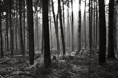 Gasthuisbossen, Zillebeke (bm^) Tags: wood bw white black tree forest blackwhite bomen nikon belgium belgique zwartwit belgi boom ieper westvlaanderen bos zwart wit ypres bossen zillebeke gasthuis d90 nikond90 gasthuisbossen  westernflanders nikond90bw mygearandmepremium