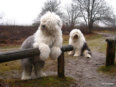 Sophie and Boy   * explore * (dewollewei) Tags: old english cane sheepdog explore bobtail oes oldenglishsheepdog sheepdogs oldenglishsheepdogs explored viejopastoringles  sweetexpressions platinumheartaward  dewollewei oldenglishsheepdogsworldwide