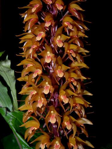 Resultado de imagem para Diglyphosa  orchid