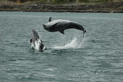Bottlenose Dolphin Joy (Whale Watch West Cork) Tags: dolphins