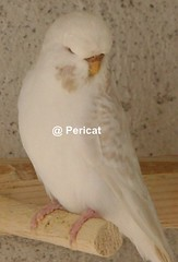 lac (periscat) Tags: baby budgie 2009