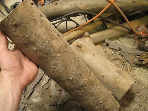 bug eaten Eucalyptus logs