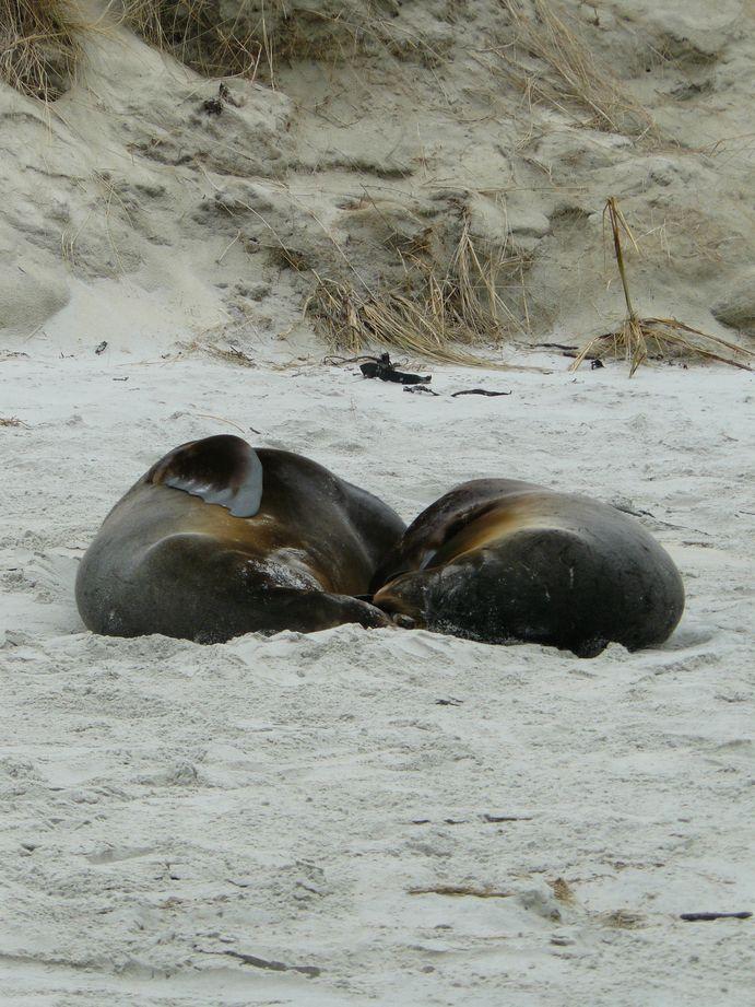 Lion de mer Sand Beach Nouvelle Zelande #7
