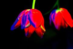 Tulips (annicariad) Tags: wales saturated tulips cymru annicariad anniwarhol