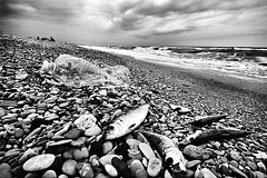 (Effe.Effe) Tags: sea fish mare riva shoreline shore pollution pesce plastica inquinamento sigma1020 bwdreams mareemale