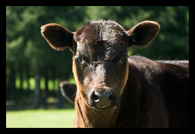 black_calf_1