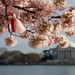 Cherry Blossom Festival '08 by headsoak