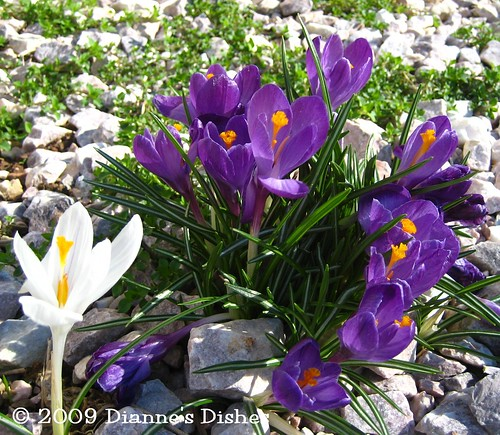 Garden Update One 2009: Purple Crocuses