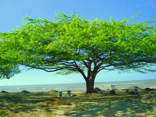 Tree in the abondoned beach in Monte Cristi