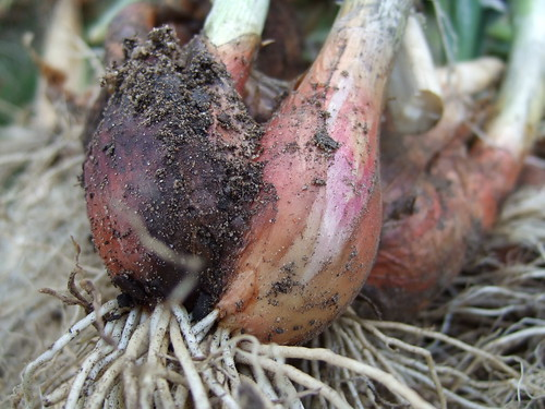 Egyptian Walking Onions - with soil