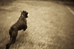Max-2 (T. Scott Carlisle) Tags: dog max giant schnauzer derrick tsc tphotographic tphotographiccom tscarlisle tscottcarlisle