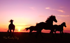 Friese Paarden (The Family Dog) Tags: sunset horses freedom free fries ameland paard paarden frisian friese abigfave
