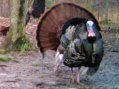 Two Gobblers & A Hen (ThePoppa) Tags: wild turkey wildlife mating hen strut strutting wildturkey gobbler