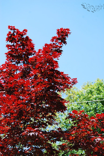 IP_Red_Maple[2009]