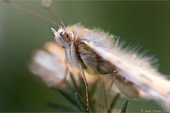Ella siempre me mira (ismaelcd1972) Tags: macro canon 100mm mariposa albacete