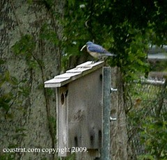 DSC_0830ABCD-BlueBird-Box-12-1