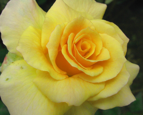 Yellow Rose to the max