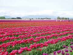 Tulip fields in Roozengaarde