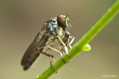 1.13 Robberfly ... Natural Light with MPE
