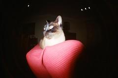 ((- M@TuSa -)) Tags: cats cat kitty fisheye gato felino siames gatto gatti ojodepez