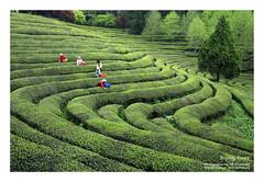 Tea plantation (FOTO_LEE) Tags: tea korea greentea teaplantation bosung
