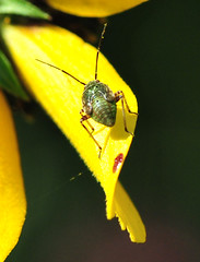 Lygus Nymph (jwinfred) Tags: plants macro nature mississippi nikon insects delta cypress 90mm preserve greenville d300 tamrom