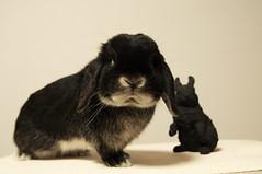 DSC_0167 (rabbitier) Tags: rabbit bunny nikon fluffy lapin usagi hollandlop うさぎ 兎 d90 blackotter