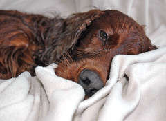 red irish dog wet bath bathtime irishsetter setter gundog badmood wetdog redsetter 52weeksfordogs