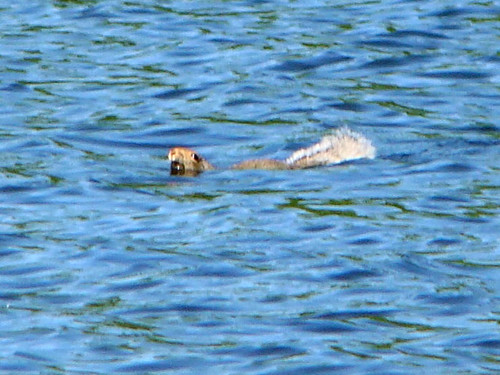 scared squirrel swimming copy