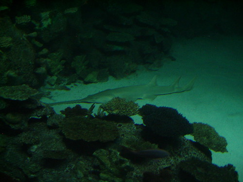 saw fish shark