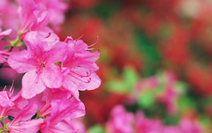 Live for Love (jami_lee) Tags: pink flowers red green nature 50mm bokeh f28 hbw
