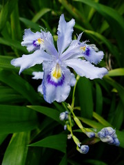 Iris japonica blue close up