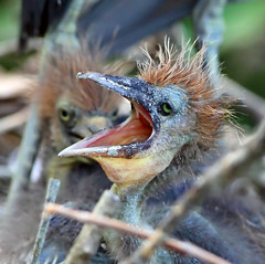 Rock Star! (minds-eye) Tags: baby bird heron hair rockstar florida beak singer babybird americanidol biodiversity wildbirds susanboyle