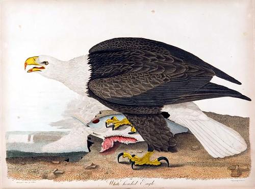 White Headed, or Bald Eagle