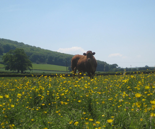 Cow in field at Hay