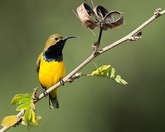 Yellow-bellied Sunbird (Jon Thornton) Tags: nikon australianbirds d300 jonthornton thewonderfulworldofbirds