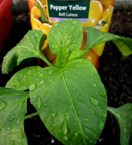 bellLuteusYellowPepper