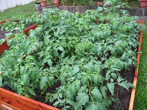 Tomato/Basil/Pepper/Onion Jungle
