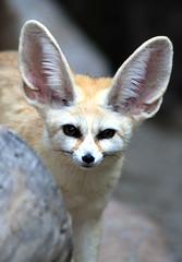 Fennec fox (floridapfe) Tags: cute animal zoo nikon fox ear everland  fennecfox d80 vosplusbellesphotos 2voc