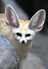 Fennec fox (floridapfe) Tags: cute animal zoo nikon fox ear everland 에버랜드 fennecfox d80 vosplusbellesphotos 2voc