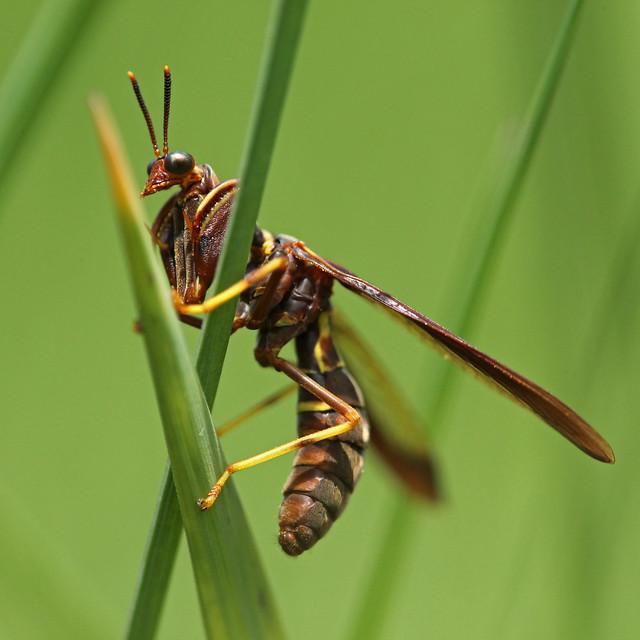 Wasp Mantidfly (Climaciella brunnea)