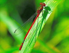 Pyrrhosoma nymphula - Large Red Damselfly (ashley.gill15) Tags: uk england nikon surrey guildford d60 supershot nikond60 photographyrocks aplusphoto qualitypixels flickraward