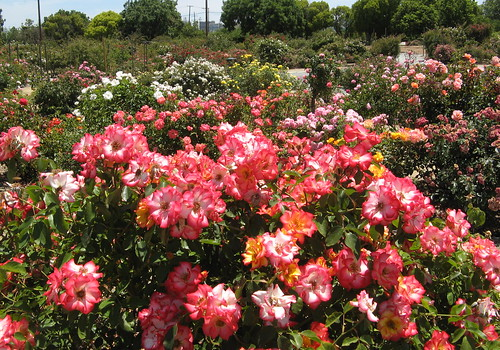 Rose Garden is an explosion of color