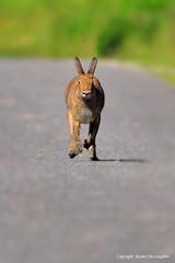 Irish Hare (Lepus timidus hibernicus) (Ronan.McLaughlin) Tags: ocean ireland sea white nature water coast nikon marine wildlife atlantic shore maritime mammals d90 irishwildlife irishhare lepustimidushibernicus sigma150500 irishmammals