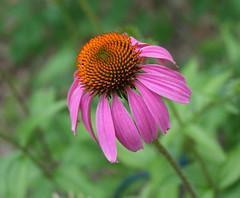 conehead flower