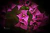 The One... (SonOfJordan) Tags: light shadow blur flower canon eos one focus purple bokeh amman center jordan explore xsi 450d الاردن samawi sonofjordan shadisamawi المملكةالاردنيةالهاشمية wwwshadisamawicom