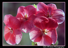 Pretty in Pink (chetty3) Tags: pink flowers macro nature canon petals spring sigma105mmf28 fantasticflower eos40d wonderfulworldofflowers theperfectpinkdiamond perfectpinkdiamond
