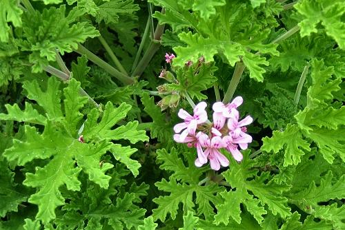 Pelargonium graveolens (rq) - 01