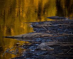 Lazy Gainsville Gators at Paynes Prairie (Captain Kimo) Tags: florida gator alligator gators alligators paynesprairie